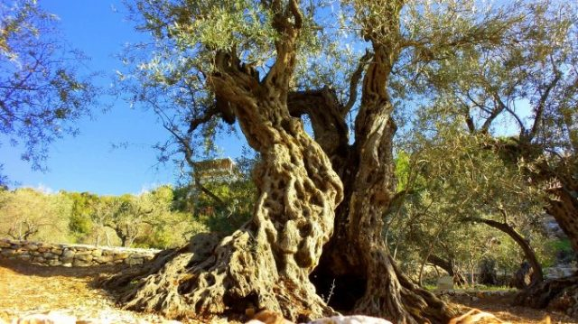 olive-tree-bchaaleh-4-678x381